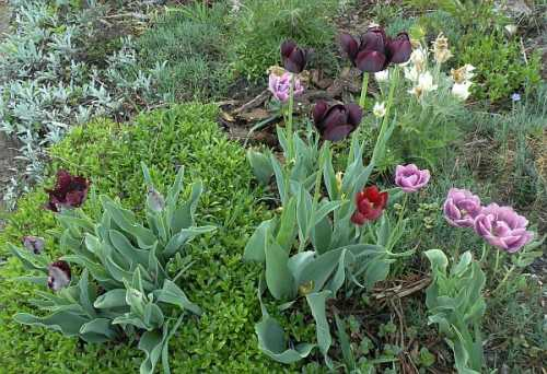 tulipany_2012-05-03.jpg