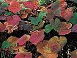 vitis-japonica-winorosl.jpg