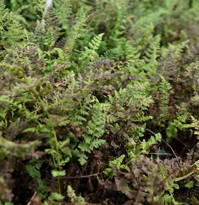 woodsia-manchuriensis.jpg