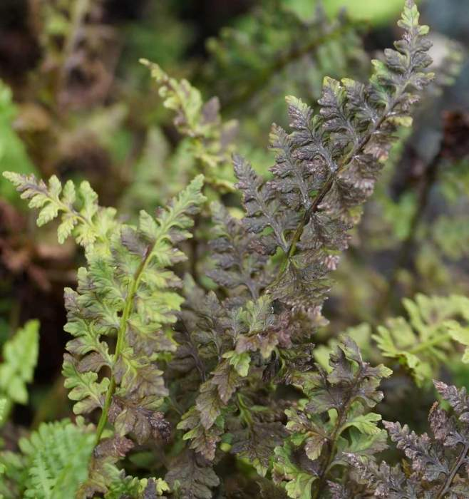 woodsia-manchuriensis2.jpg