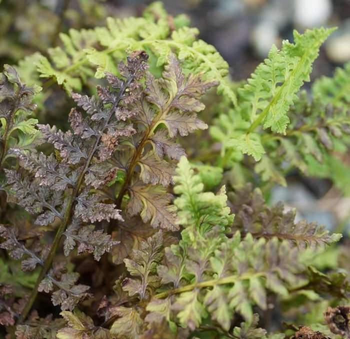 woodsia-manchuriensis3.jpg