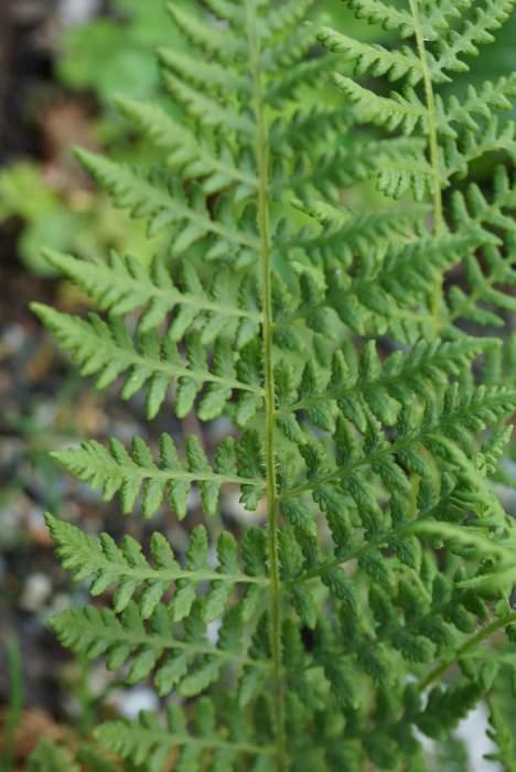 woodsia-obtusa-lisc.jpg