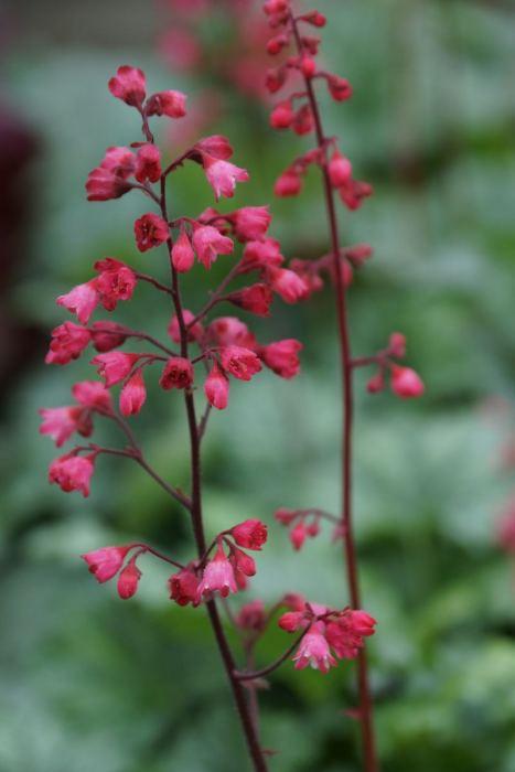 zurawka-pepermint-spice-kwiaty.jpg