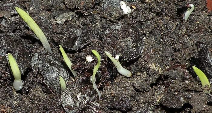 zwartnica-nasiona.jpg