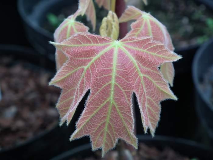 acermacrophyllumMochaRose004.jpg