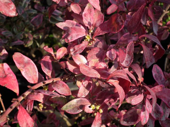 euonymusalatusSilverCloudautumn001.jpg