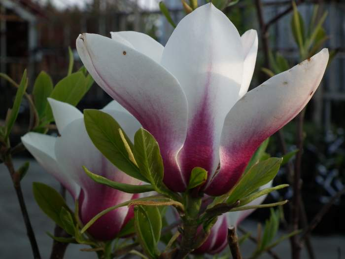 magnoliaBjuv013.jpg