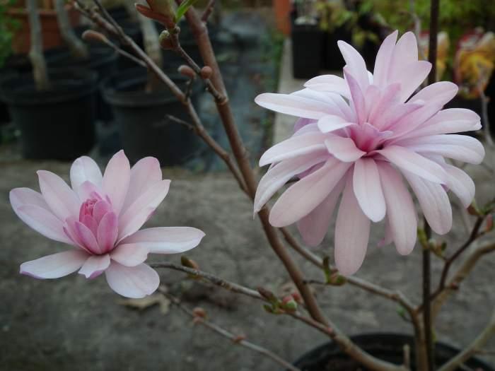 magnoliaChrysanthemumiflora002.jpg