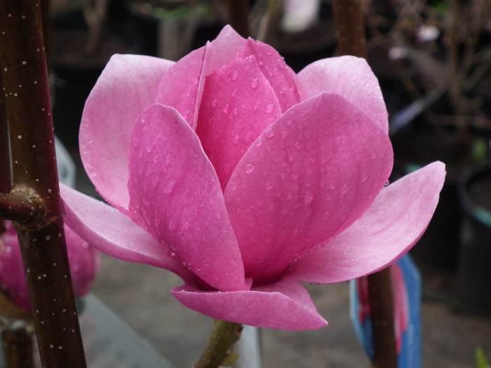 magnoliaCleopatra012.jpg
