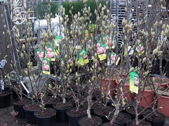 magnoliaSatisfaction80-100.jpg