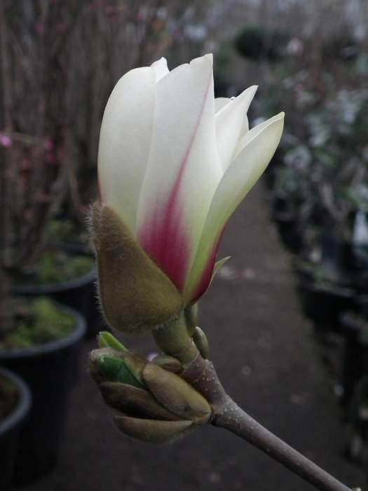 magnoliaSunrise003.jpg