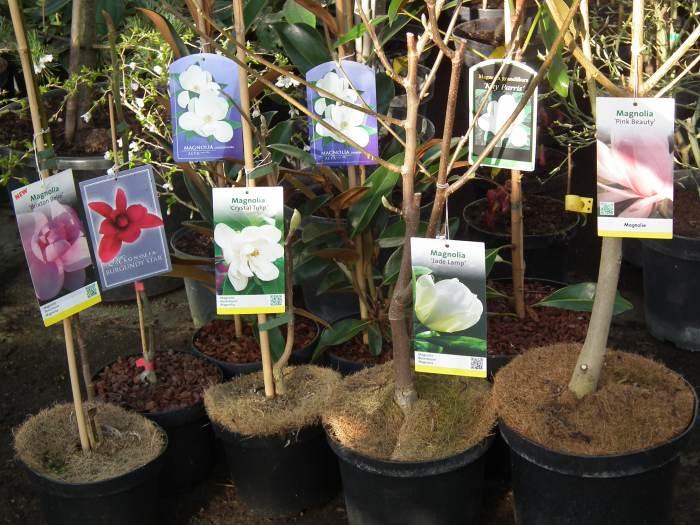 magnolianowoci2015014.jpg