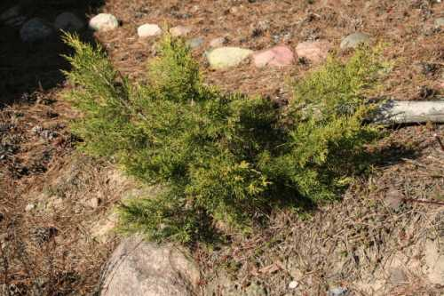 Juniperus_chinensis_Kuriwao_Gold.JPG