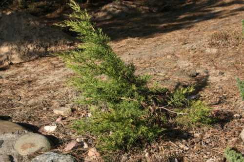 Juniperus_chinensis_Kuriwao_Gold1.JPG