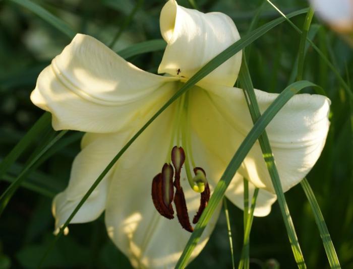 lilia-bialo-zolta-kwiat.jpg