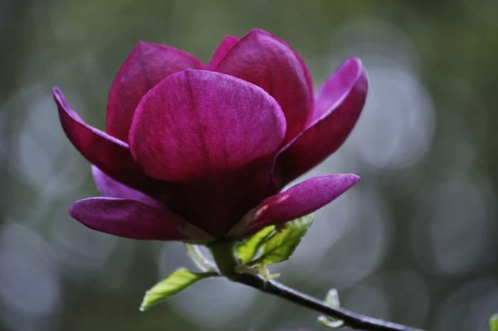 magnoliagenie-Kopia.JPG
