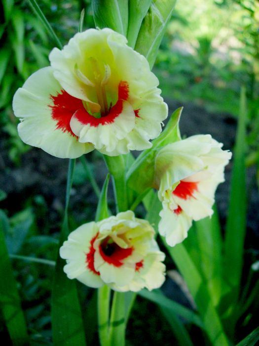 GladiolaS28915.jpg