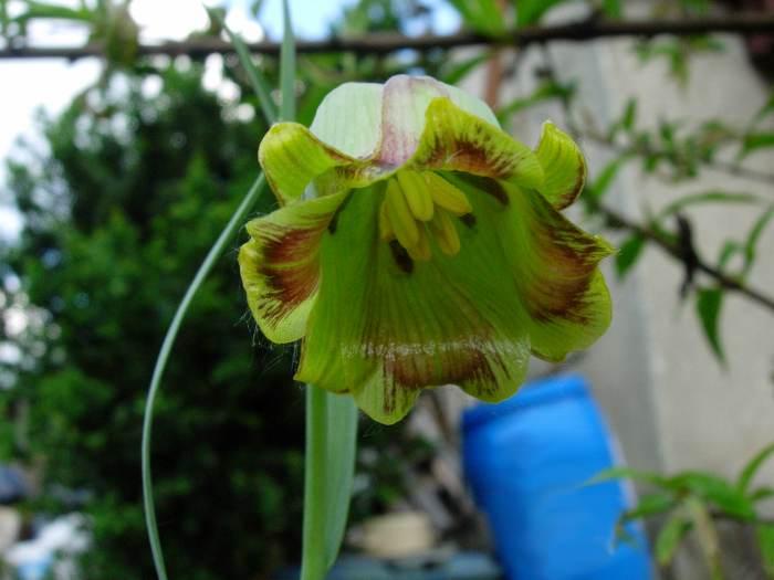 SzachownicaostropatkowaFritillariaacmopetala2.jpg