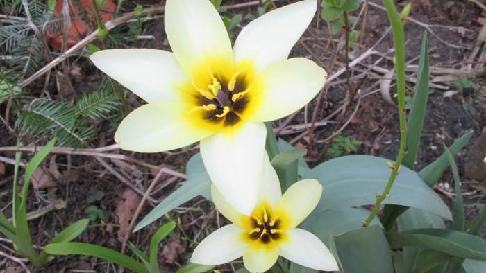 tulipan_1.jpg