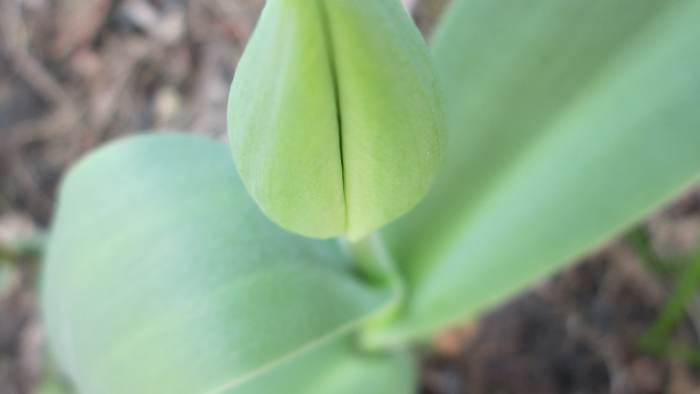 tulipan_mieszczuch.jpg