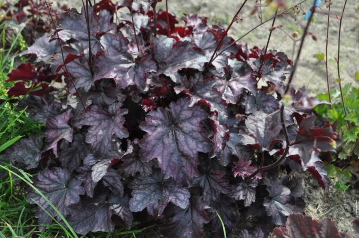 Heuchera-Blackberry-jam.jpg
