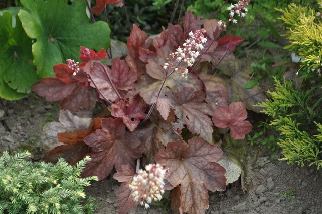 Heucherella-Redstone-Falls-1.jpg