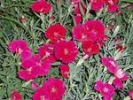 220px-DianthusChinensis11.jpg
