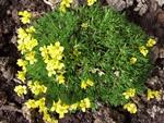 800px-Draba_brunifolia_a1.jpg