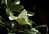 Magnoliagrandiflora2.JPG