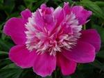 PaeonialactifloraQiHuaLuShuang_2013-06-26.jpg