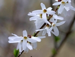 abeliophyllum_distichum.jpg