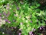 czycicawielkokwiatowa-grandiflora.jpg