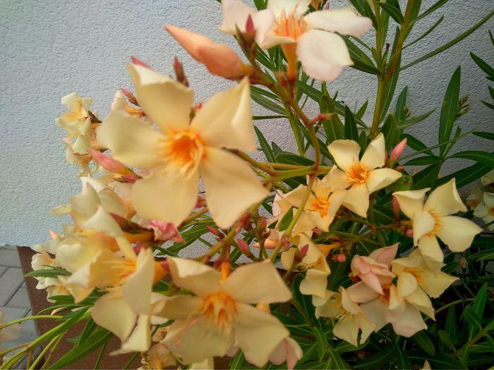Oleander-3.jpg
