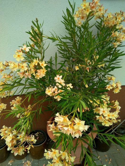 Oleander-4.jpg
