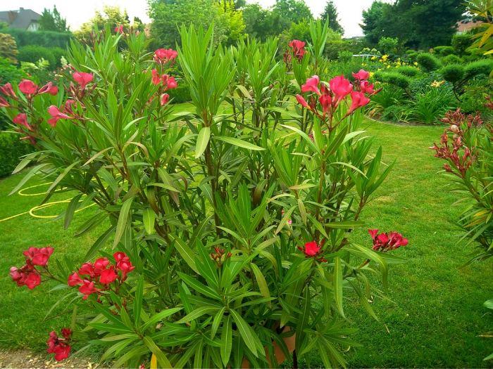 OleanderI.jpg