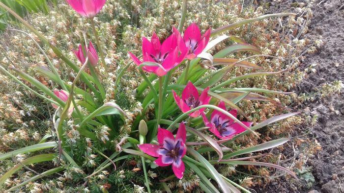Tulipanybotaniczne.jpg
