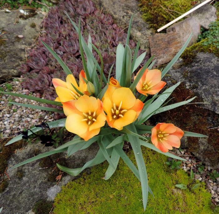 tulipany-2.jpg