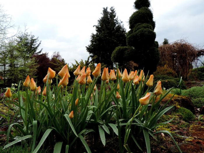tulipanypodeszczu.jpg