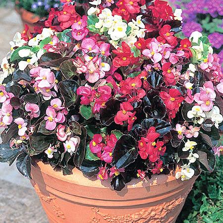 Begoniastalekwitnca.jpg