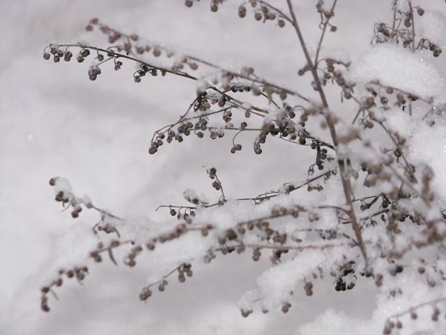 Artemisiaabsinthium.jpg