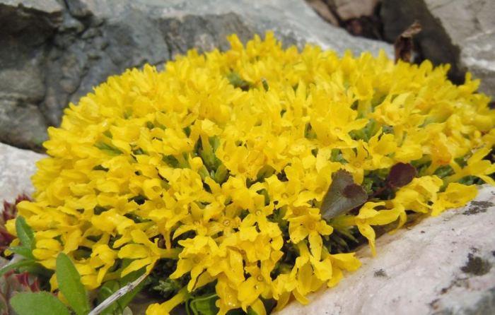 vprimulifolia.jpg