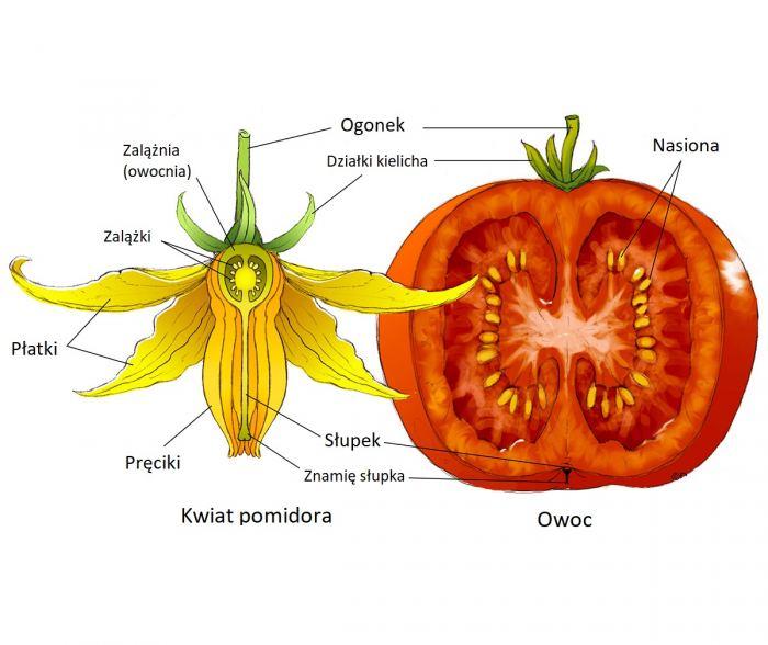 Pomdor-anatomia.jpg