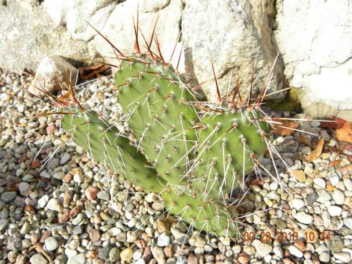 Kaktus-Opuntiaerinaceavar.utahensis_1024x768.jpg