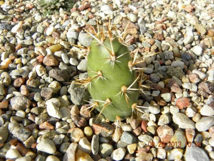 Kaktus-Opuntiafragilis2_1024x768.jpg