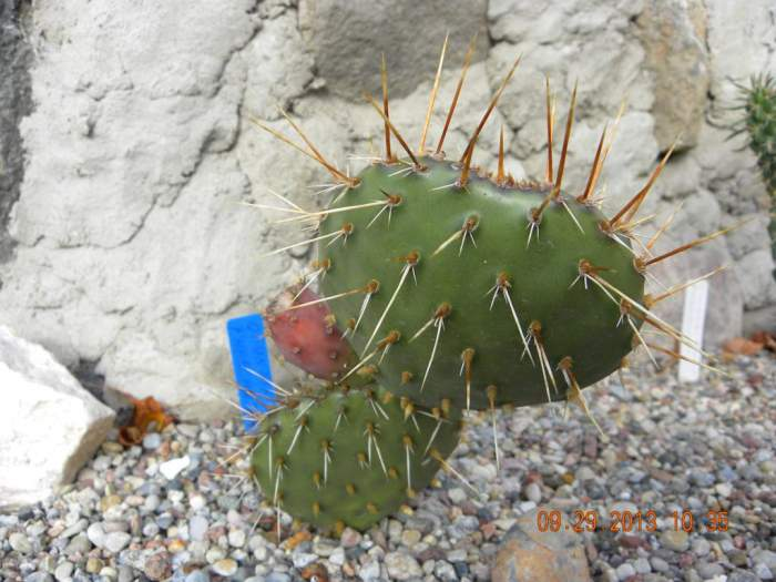 Kaktus-Opuntiaphaecantha2_1024x768.jpg