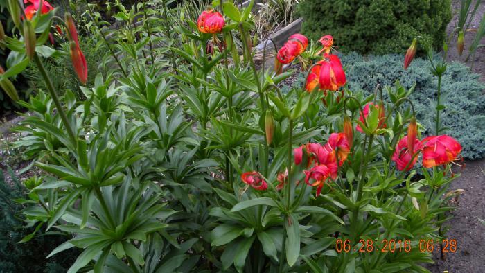 Liliumpardalinum.jpg