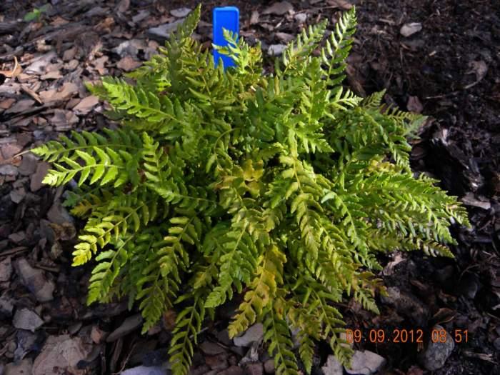 Woodsiapolystichoides_1024x768.jpg