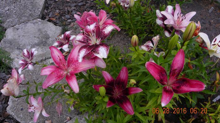 liliesiewki1.jpg