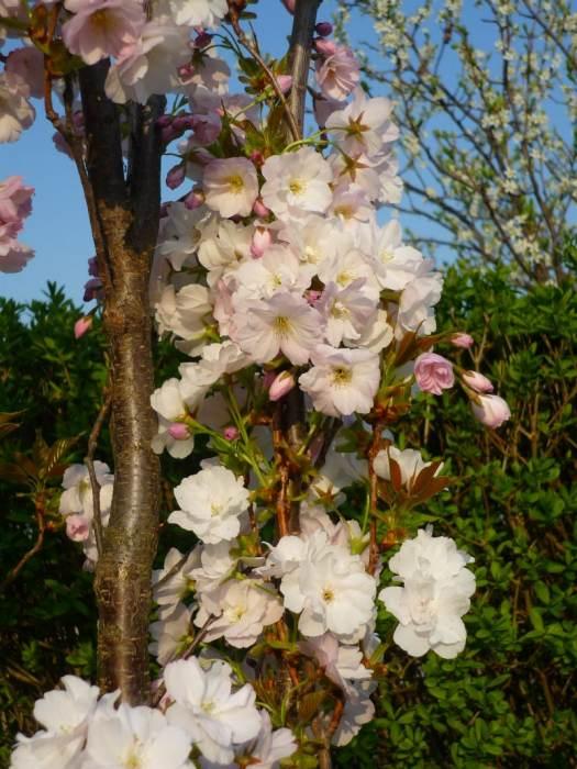 amanogawakwiaty-3.jpg
