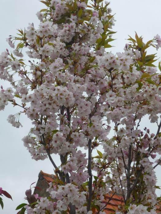 amanogawakwiaty-5.jpg